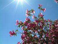 azalee bush