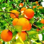 Fruit of the Spirit: Kindness Orange