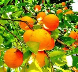 rp_fruit-of-the-spirit-orange-kindness-300x237.jpg