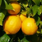 FRUIT OF THE SPIRIT: LEMON FAITHFULNESS