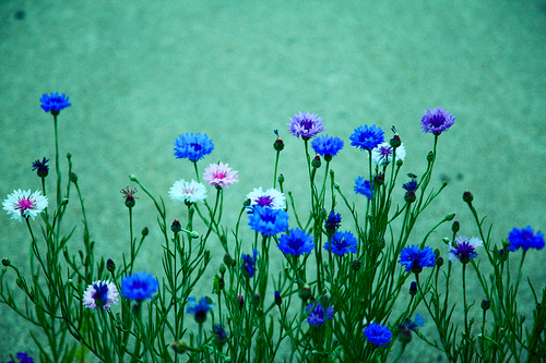 blue flowers
