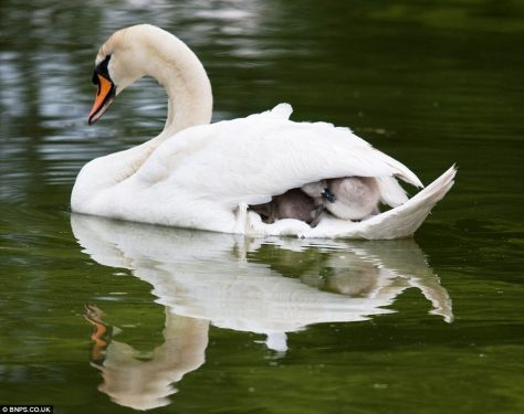 swan mother wings feathers