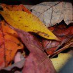 Autumn Leaf Turkeys for Thanksgiving!